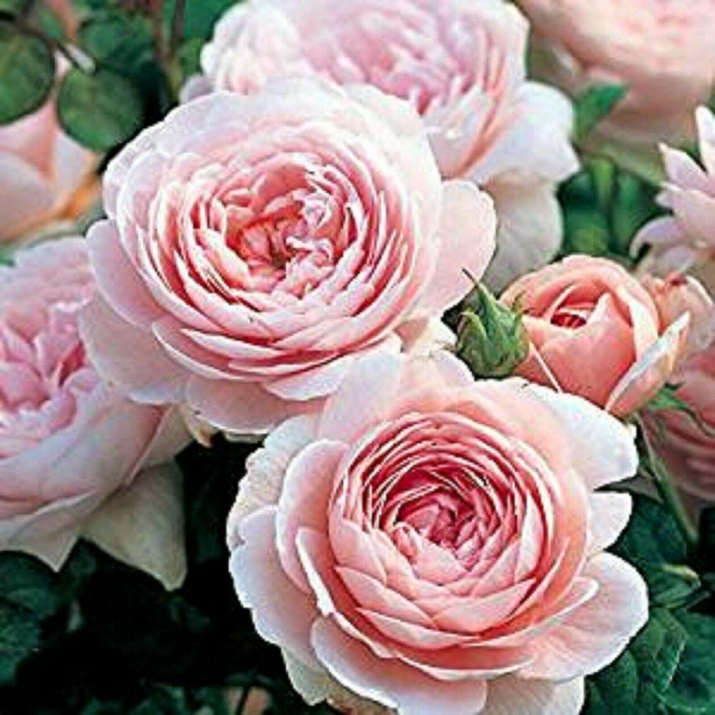 Light Pink Persian Buttercup 25 Seeds