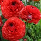 Red Persian Buttercup 25 Seeds