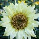 Moon Shadow Sunflower 25 Seeds