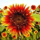 Joker Sunflower 25 Seeds