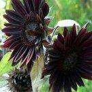 Velvet Queen Black Sunflower 25 Seeds