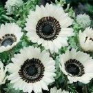 Snow White Sunflower 25 Seeds