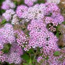 Purple White Spiraea 100 Seeds