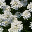 Double White Candytuft 50 Seeds