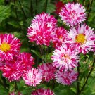 Pink White Aster Flower 50 Seeds