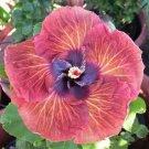 Pink Orange Hibiscus 20 Seeds