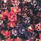 Pink Purple Columbine 50 Seeds