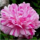 Double Light Pink White Moss Rose 100 Seeds