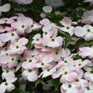 Stellar Pink Dogwood 5 Seeds