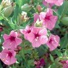 Light Pink Four O'clock Flowers 25 Seeds