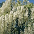 White Chinese Wisteria 5 Seeds