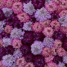 Sweet Candy Candytuft 50 Seeds