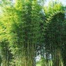 Bambusa Oldamii Bamboo 10 Seeds
