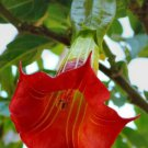 Red Angel Trumpet 10 Seeds
