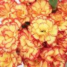 Yellow Orange Carnation 100 Seeds