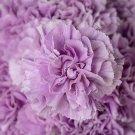 Lavender Carnation 100 Seeds