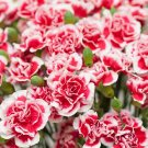 Red White Carnation 100 Seeds