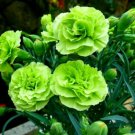 Bright Green Carnation 100 Seeds