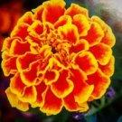 Marigold 100 seeds