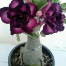 Purple Black Desert Rose 4 Seeds