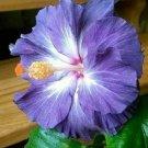Blue White Hibiscus 20 Seeds