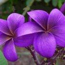 Purple Plumeria 5 Seeds