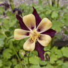 Purple Yellow Columbine 50 Seeds
