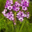 Purple Ixia Bulbs Wand Flower 10 Seeds