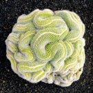 Green Brain Cactus 10 Seeds