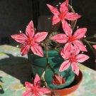 Graptopetalum Bellum 10 Seeds