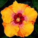 Yellow Red Hibiscus 20 Seeds
