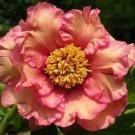 Yellow Pink Single Peony 5 Seeds
