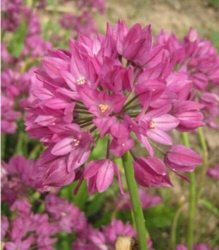 """Pink"" Ostrowskianum Bulbs Allium 20 Seeds"