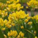 """Yellow"" Moly Bulbs Allium Flower Bulb Spring 20 Seeds"