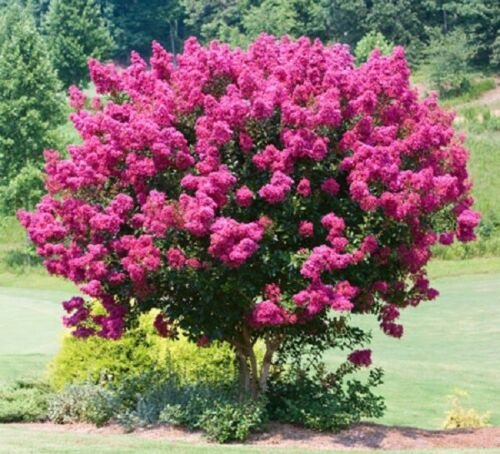 Pink Velour Lilac 25 Seeds