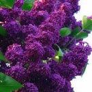 Dark Purple Lilac 25 Seeds