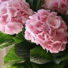 Light Pink Hydrangea 5 Seeds