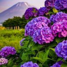 Dark Purple Hydrangea 5 Seeds