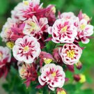 Doubles Pink White Columbine 50 Seeds