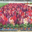 Pink Red White Salvia 50 Seeds