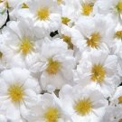 White Moss Rose 100 Seeds