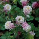 DBL Rose White Columbine 50 Seeds