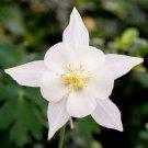 White Columbine 50 Seeds