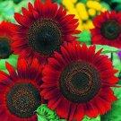 Red Sunflower 25 Seeds