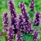 Bright Purple Hyssop 100 Seeds