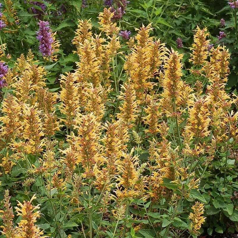 Gold Hyssop 100 Seeds