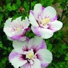 White Purple White Hollyhock 25 Seeds