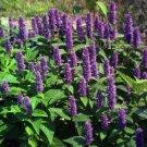 Giant Purple Hyssop 100 Seeds