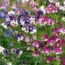 Dwarf Pink Purple Columbine 50 Seeds