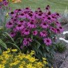 Bright Purple Coneflower 50 Seeds